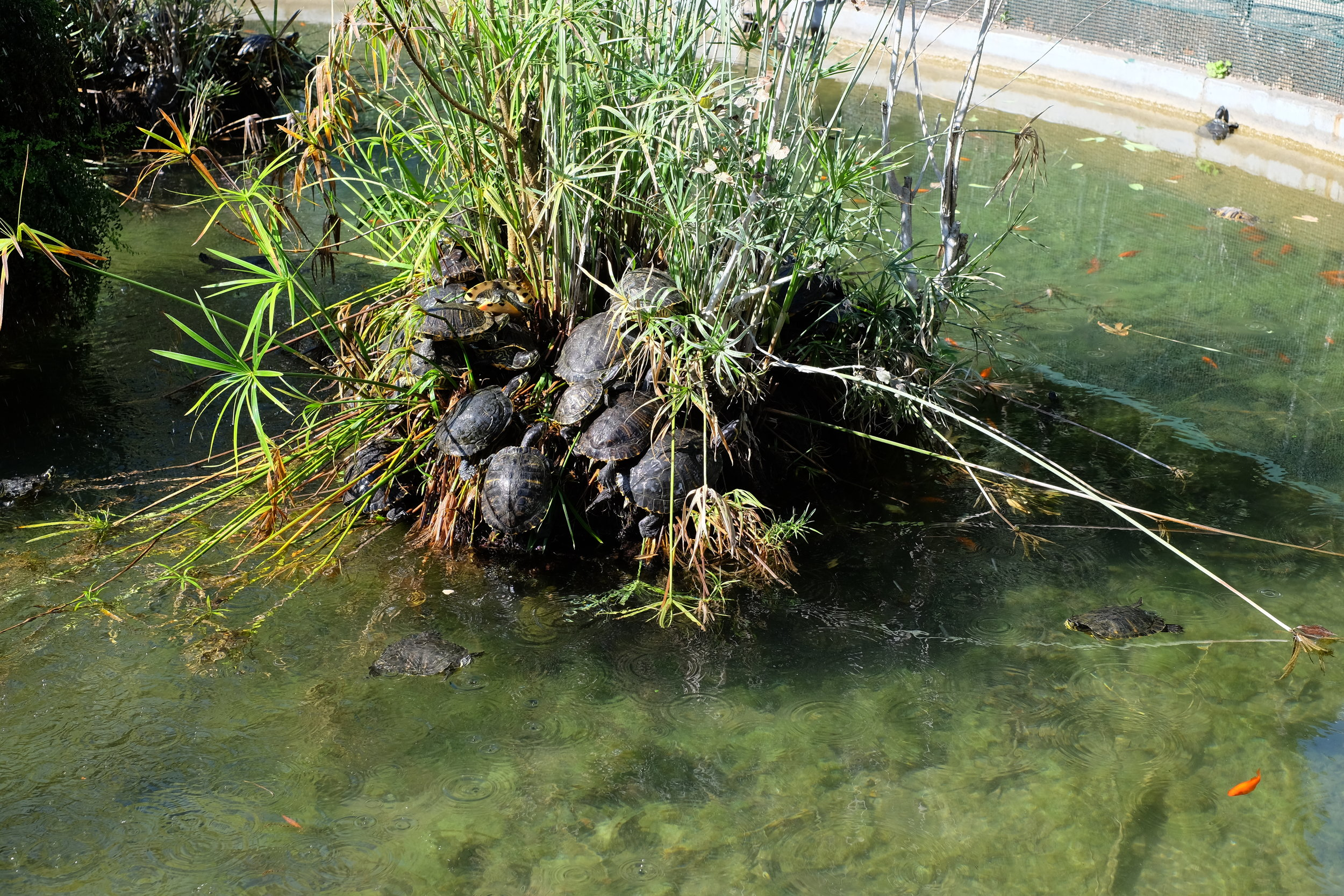 The cute turtles in the fountain of the villa seem to enjoy the weather!