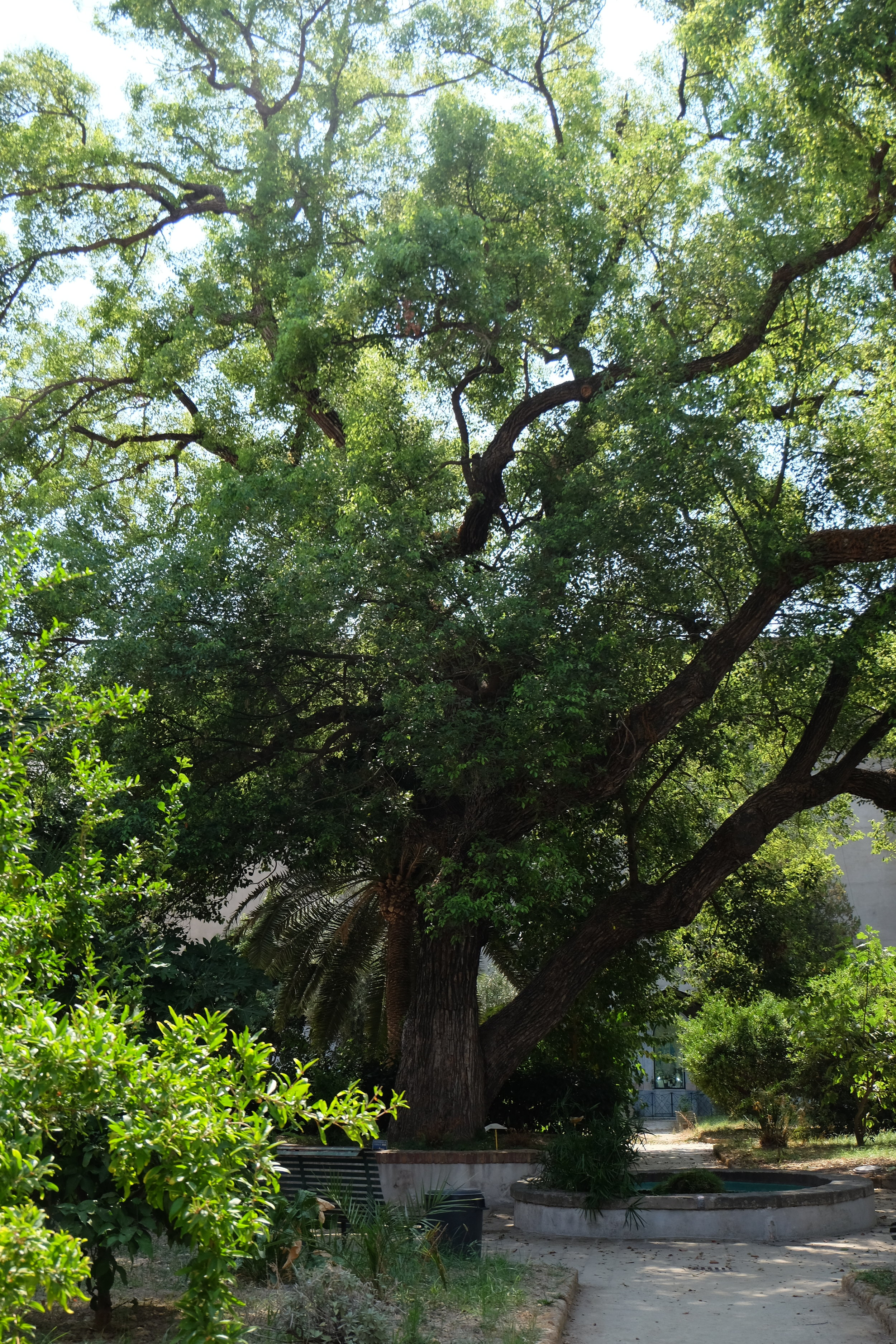 The beautiful camphor tree, planted in 1525. Plants and trees were used to cure diseases inside the yard of the hospital.  Here there was also the maternity department, where prostitutes, young women used to come here and give birth assisted by nuns and midwifes.