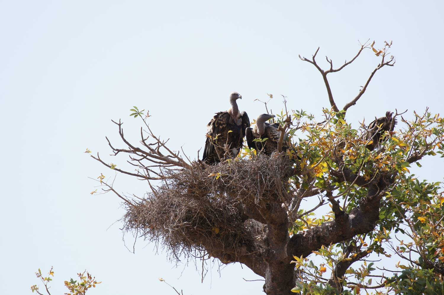 A Hooded Vulture perched near a nesting of Ruppell's Vultures.