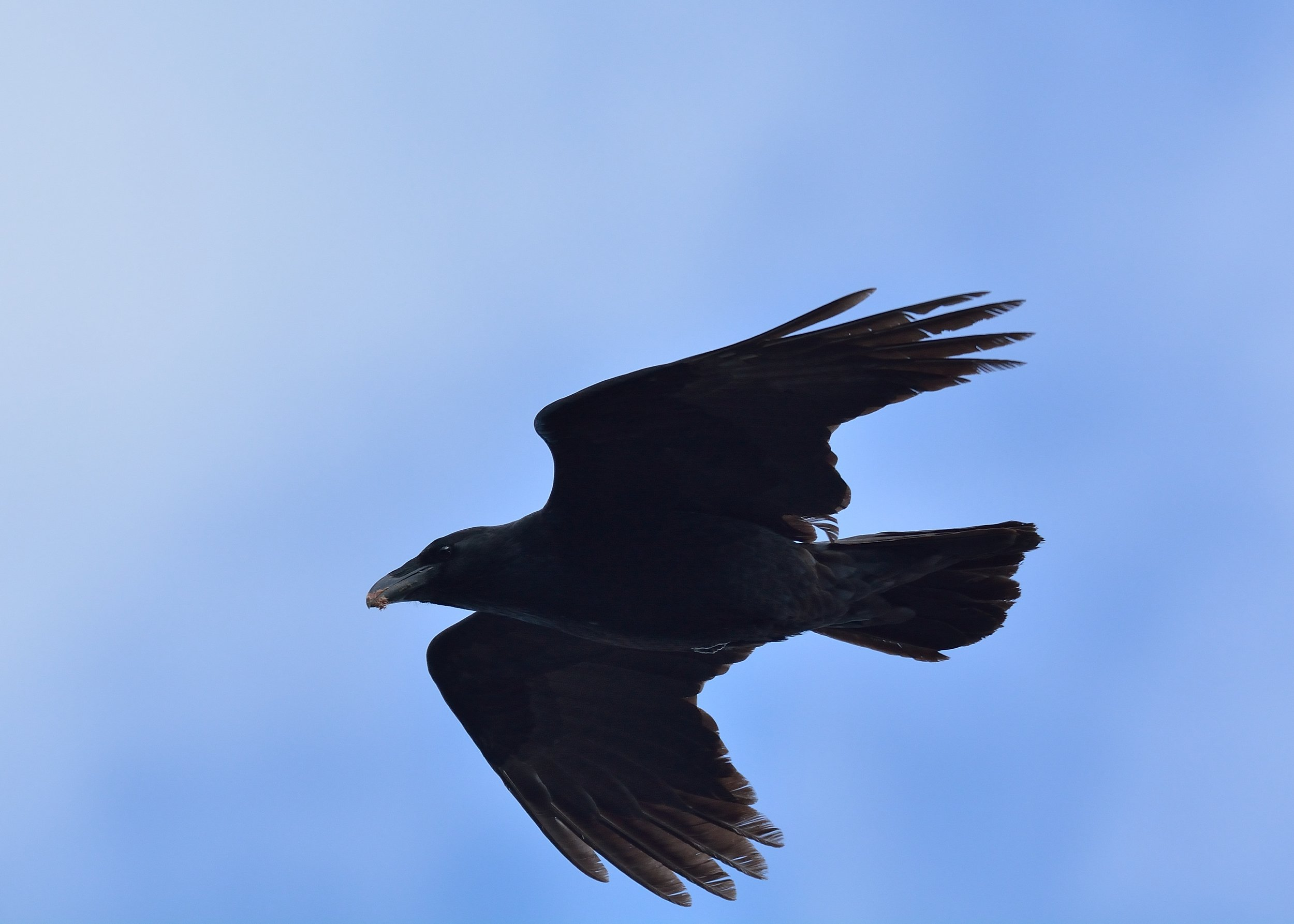 Raven passing by North Lookout by Bill Moses.