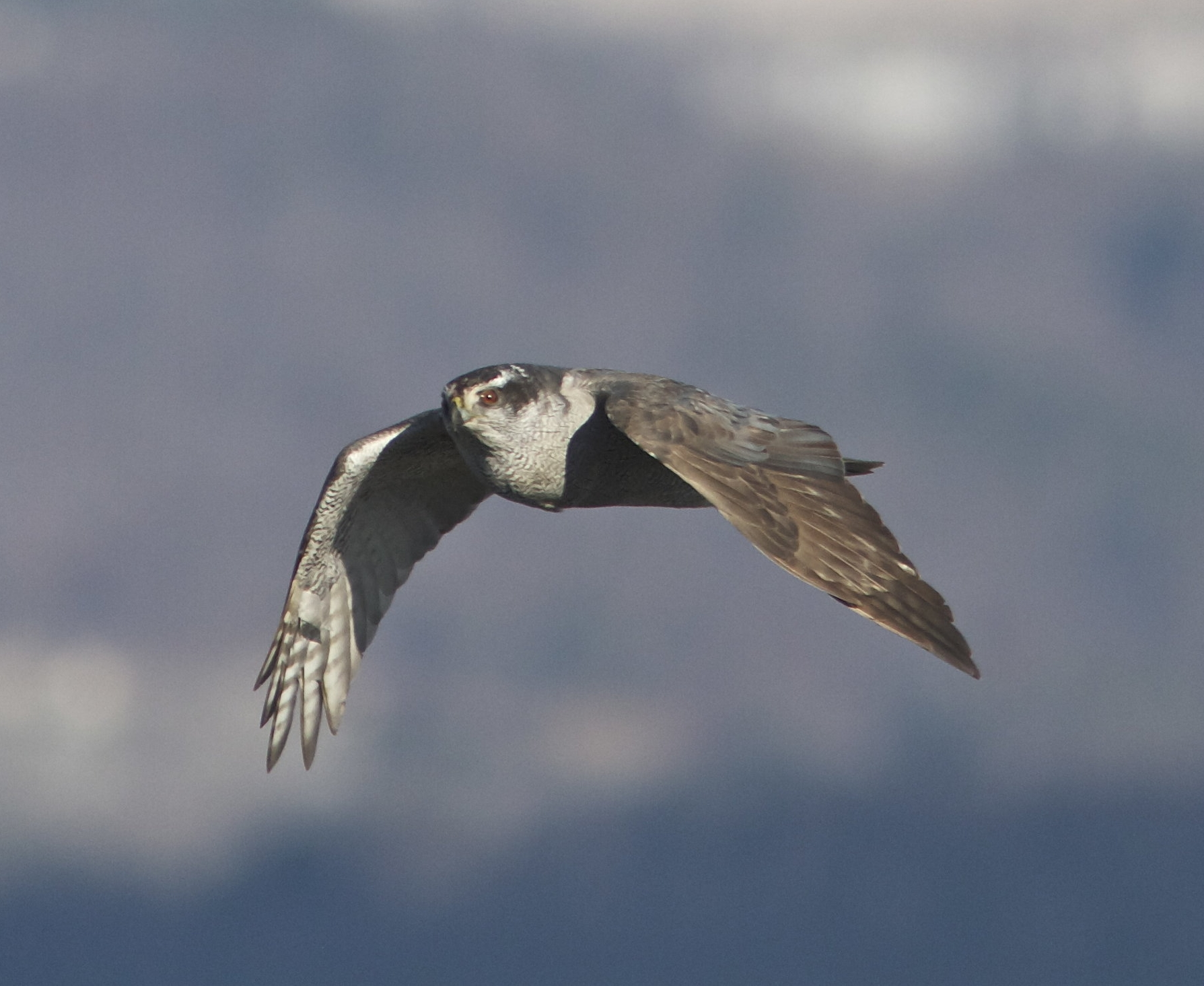 Northern Goshawk in flight. Photo by Holly Merker.