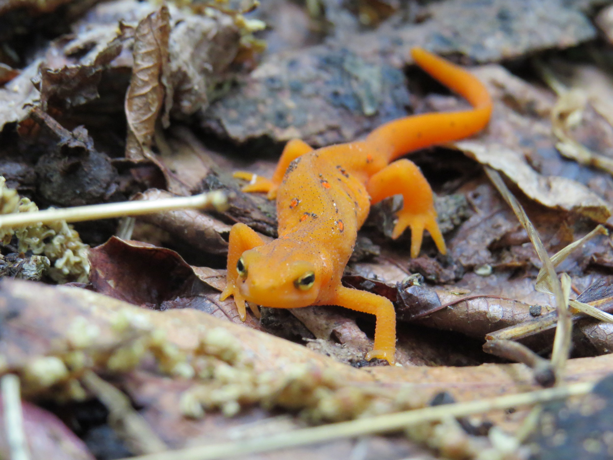 Red-spotted Newt photo taken by Merlyn
