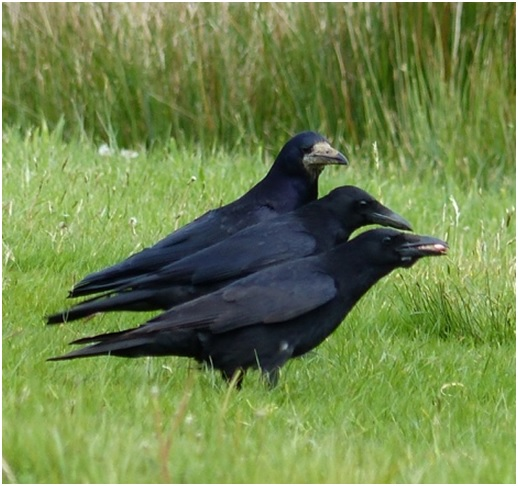 Corvids remained on the ground, stealing morsels whenever possible.