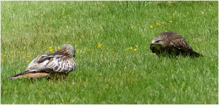 A red kite and buzzard face off over a piece of meat