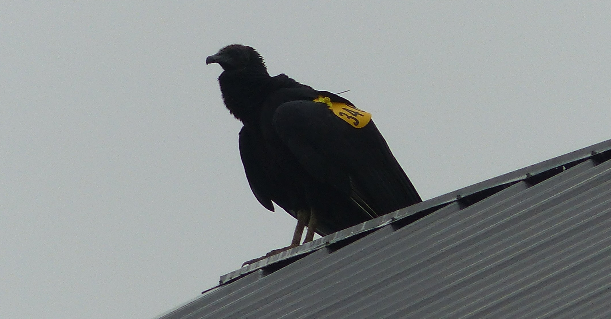 A black vulture tagged by Hawk Mountain named Versace, perched on a barn in the Kempton Valley. Notice her wing tag and antennae of the telemetry unit.