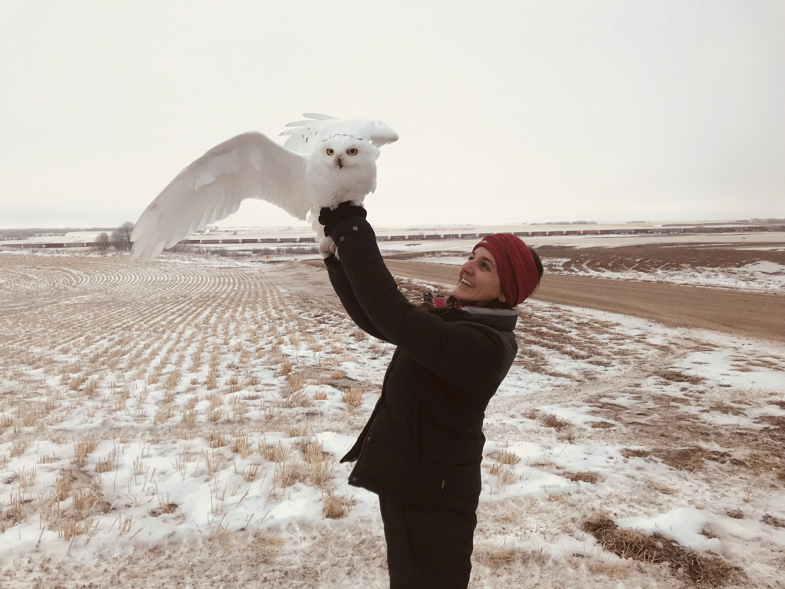Becca with a recently trapped and tagged snowy owl right before release.