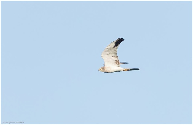 Pallid Harrier soars by Batumi. Photo by Frits Hoogeveen.