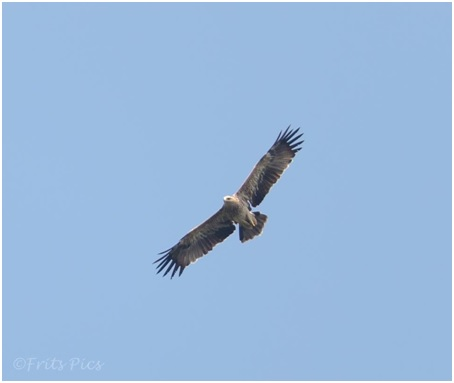 Imperial eagle flies overhead. Photo by Frits Hoogeveen