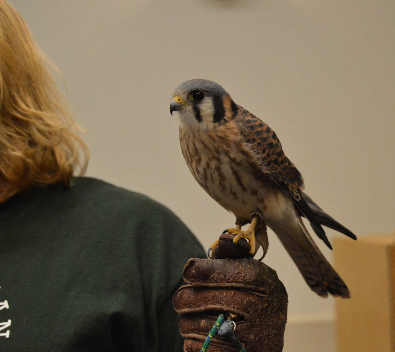 An American kestrel introduced during one of HMANA's presentations.