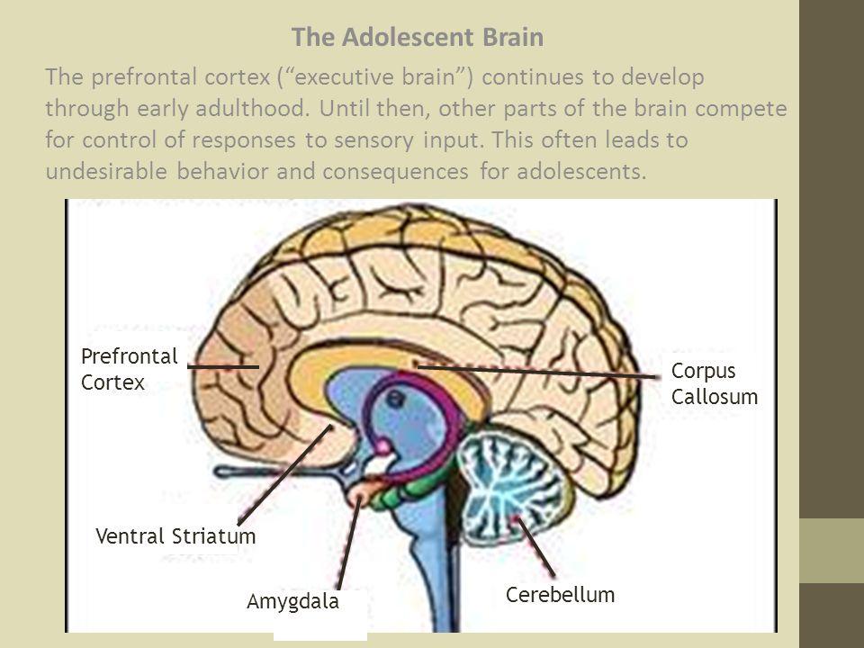 Adolescent Brain.jpg
