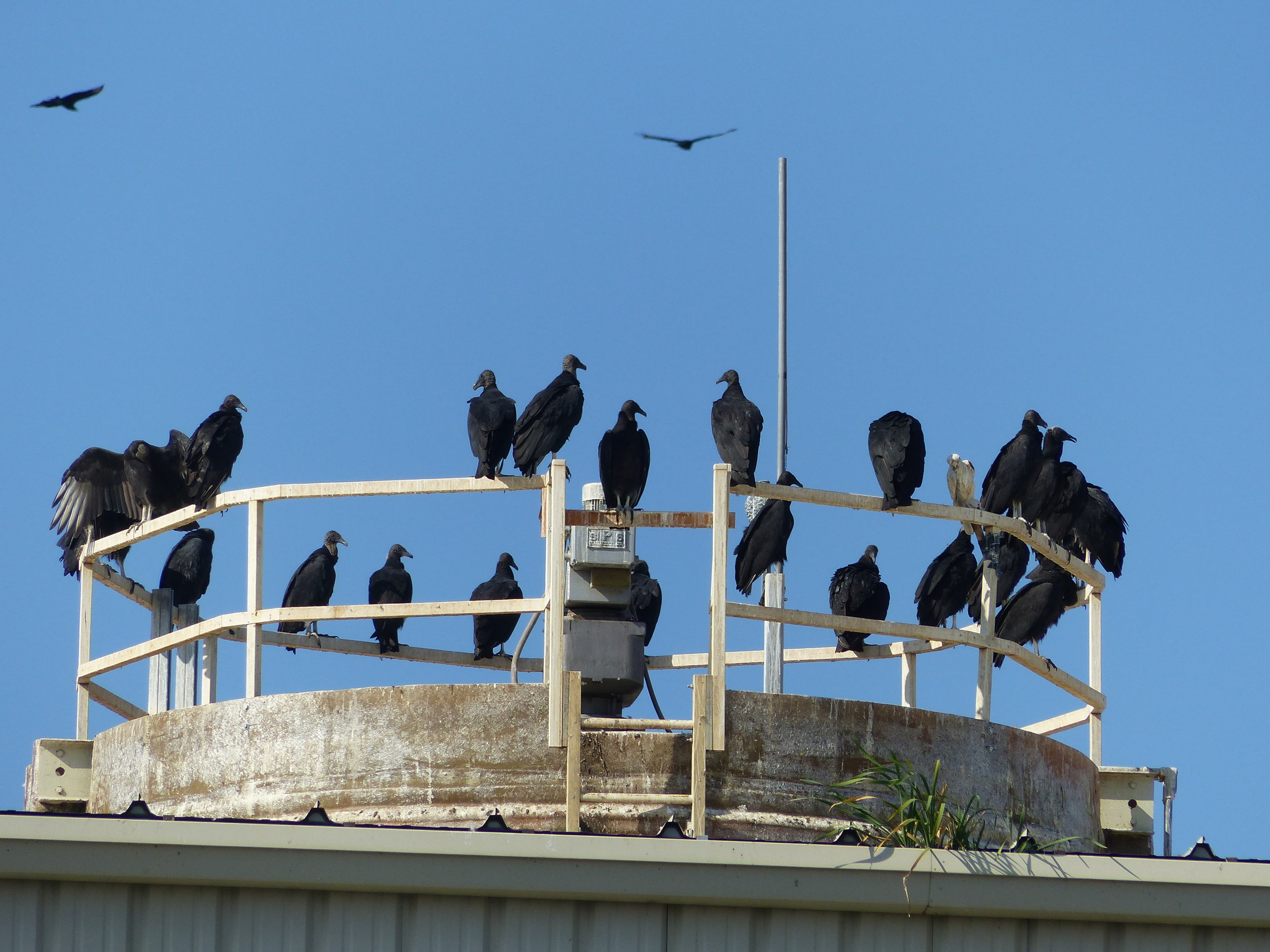 A vulture roost in Reading, PA, that Zoey observed during her time as an HMS conservation science trainee.