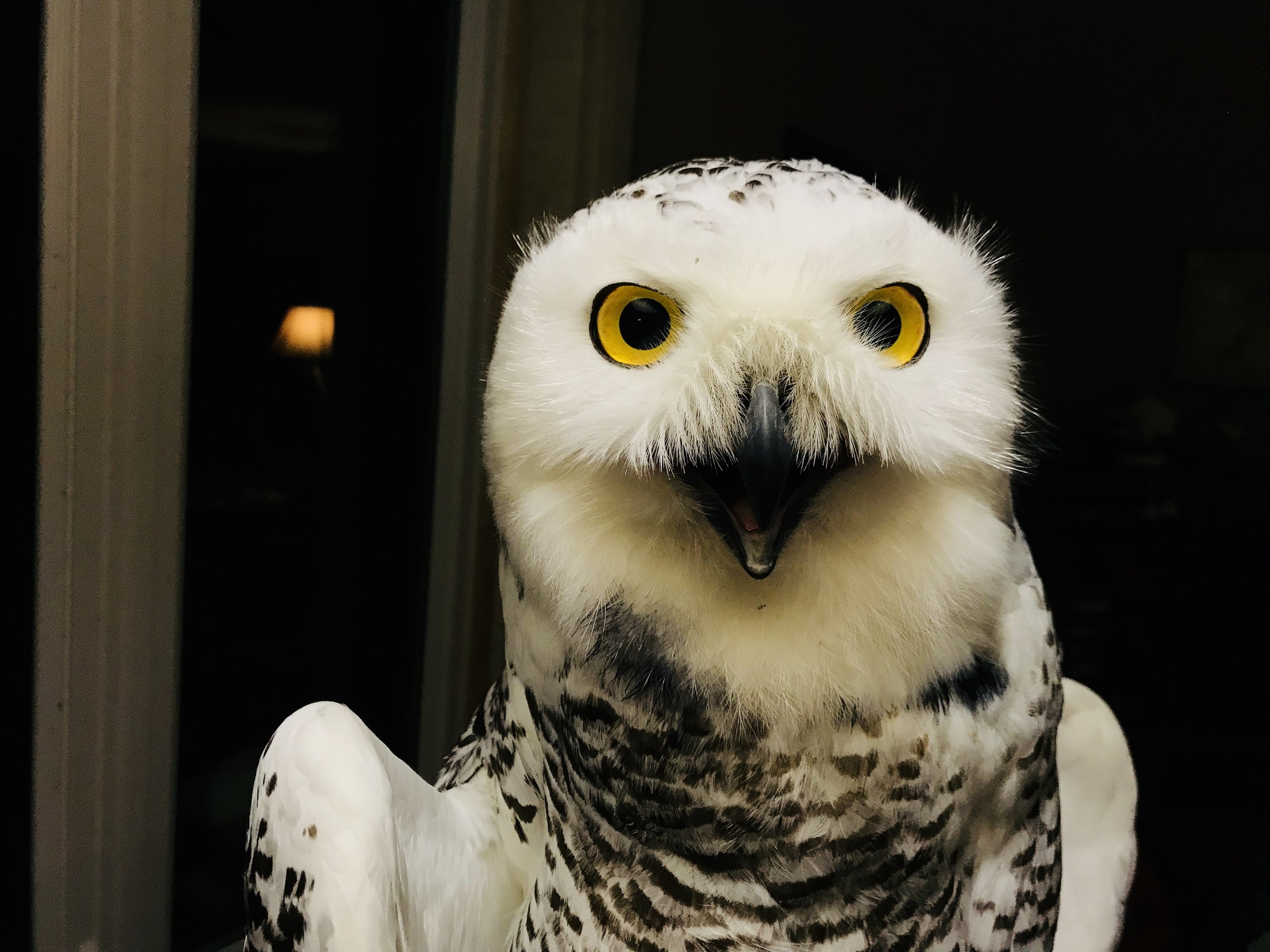 Stella, a snowy owl tagged by Project SNOWstorm earlier this year.