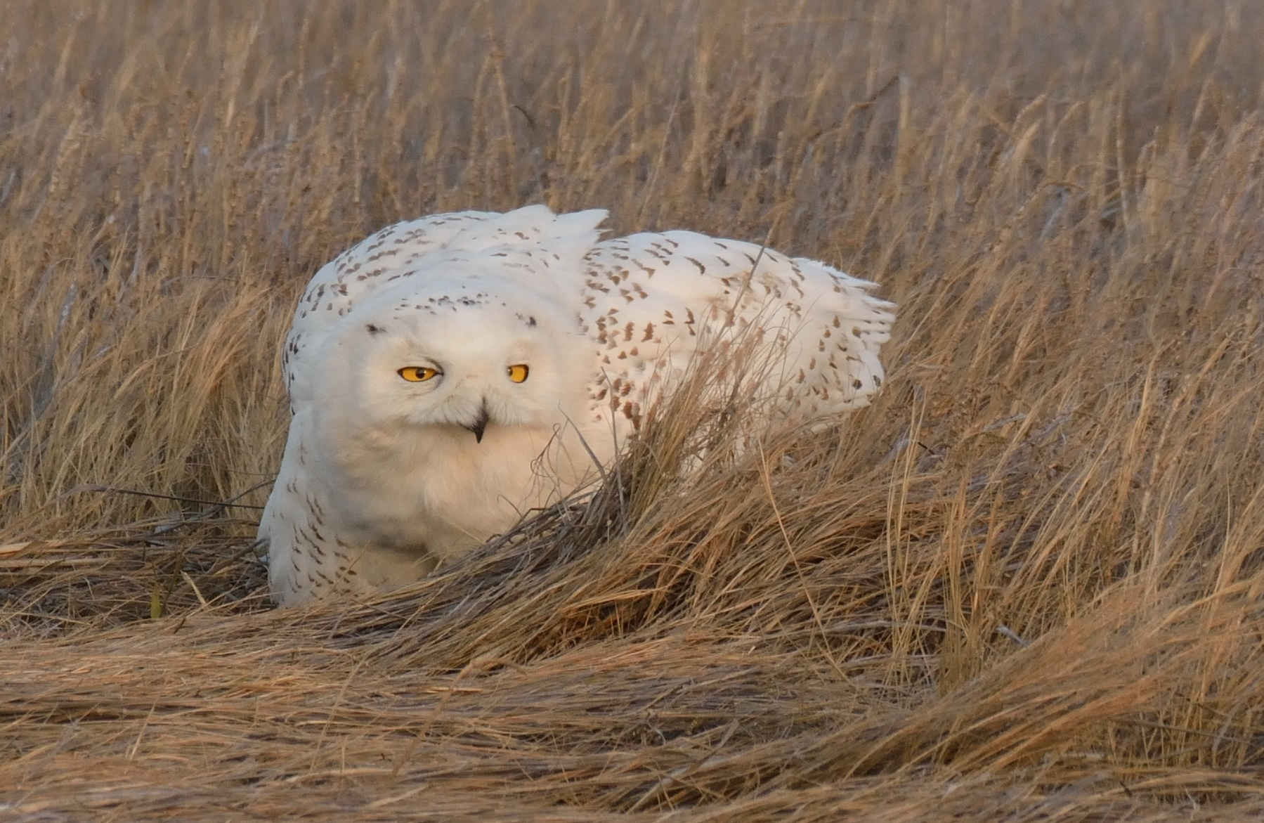 A snowy owl that was spotted in a local PA field last year.
