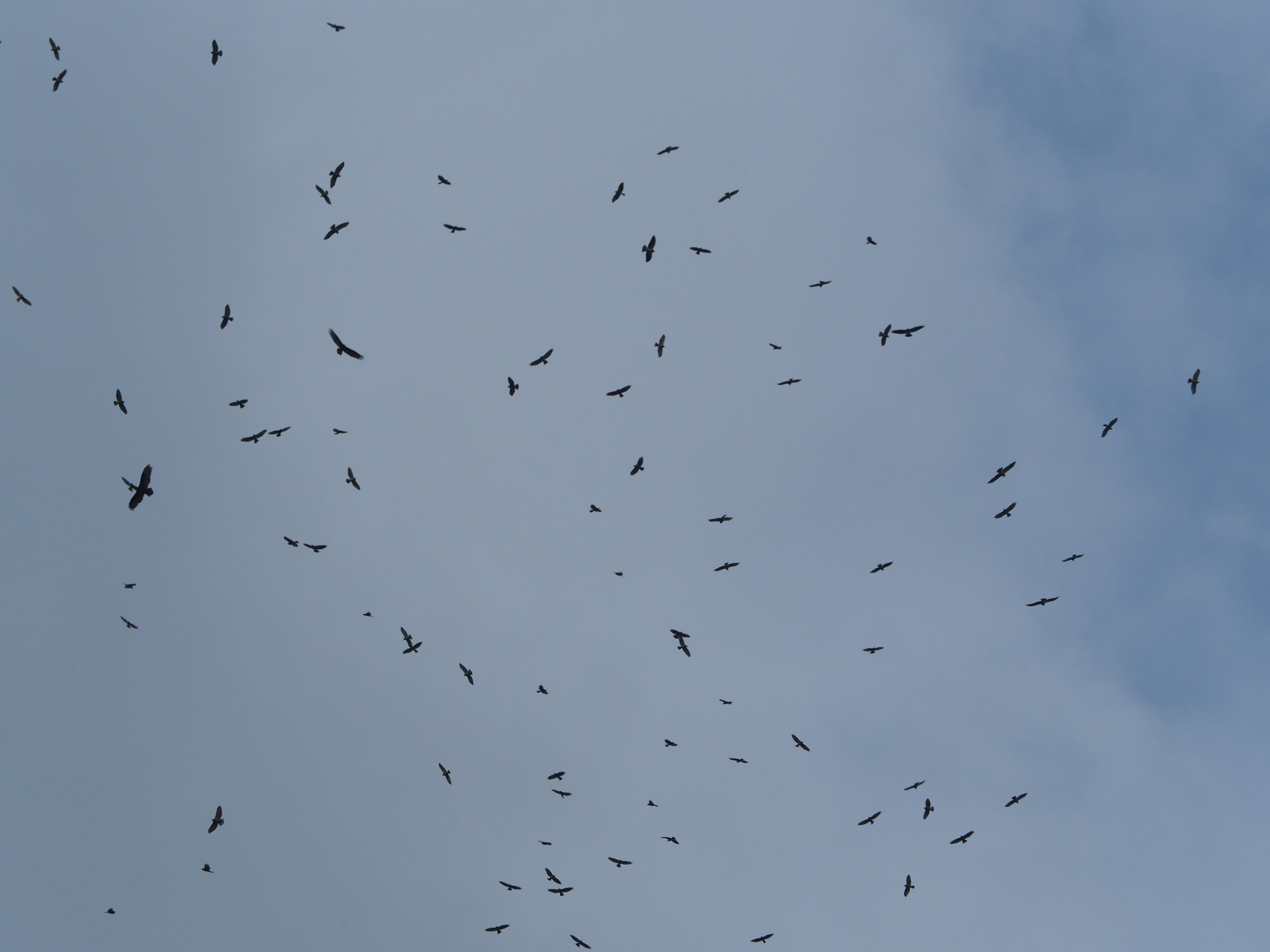 Kettling broadwings and other raptors, photo by Diane Allison.