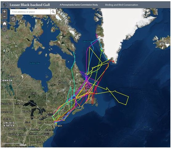 Movements of lesser black-backed gulls through June 2018. Map by PA Game Commission.