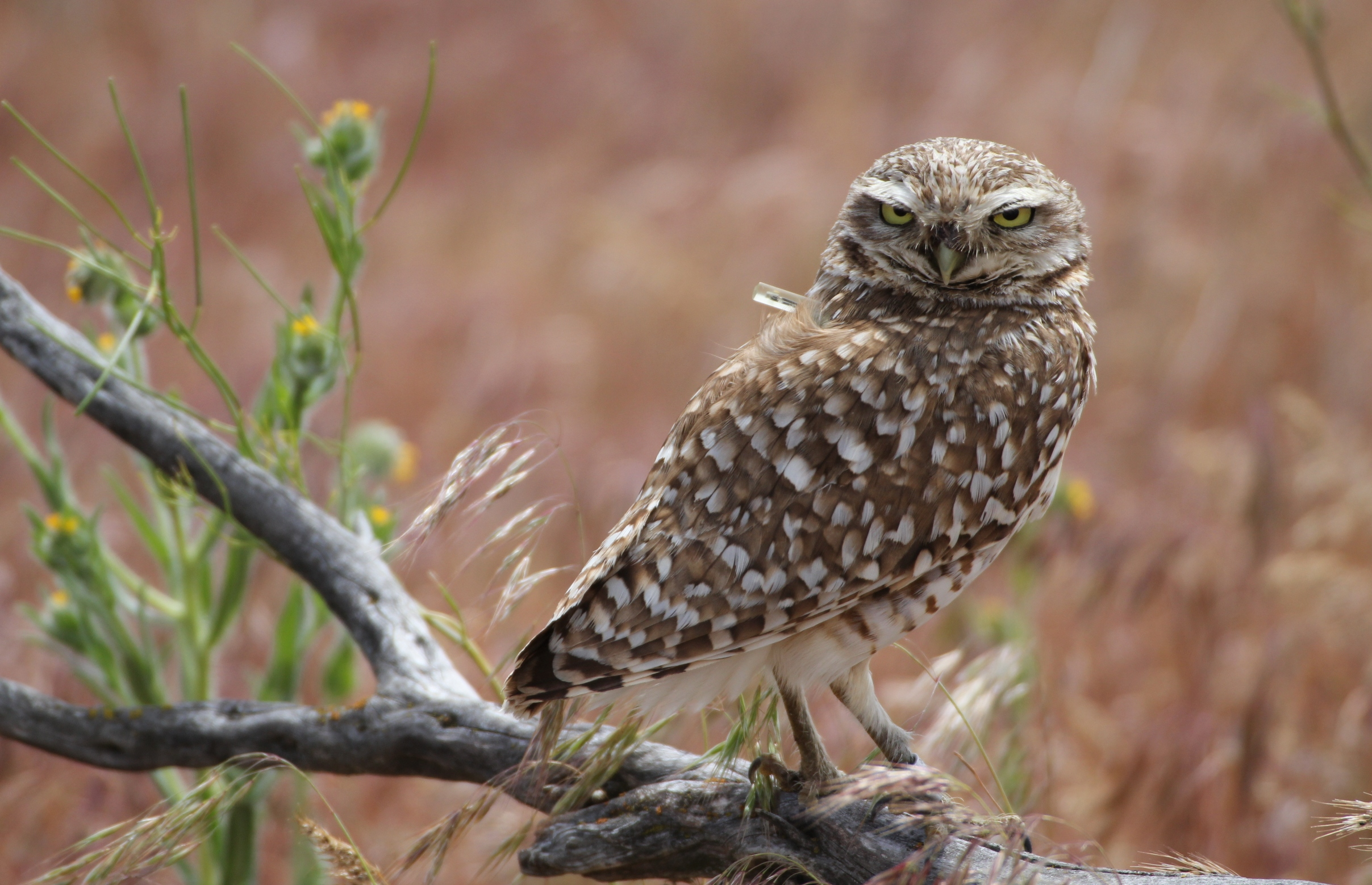 Burrowing Owl w geolocator - screensaver- 5-14-2011 G. Green.JPG