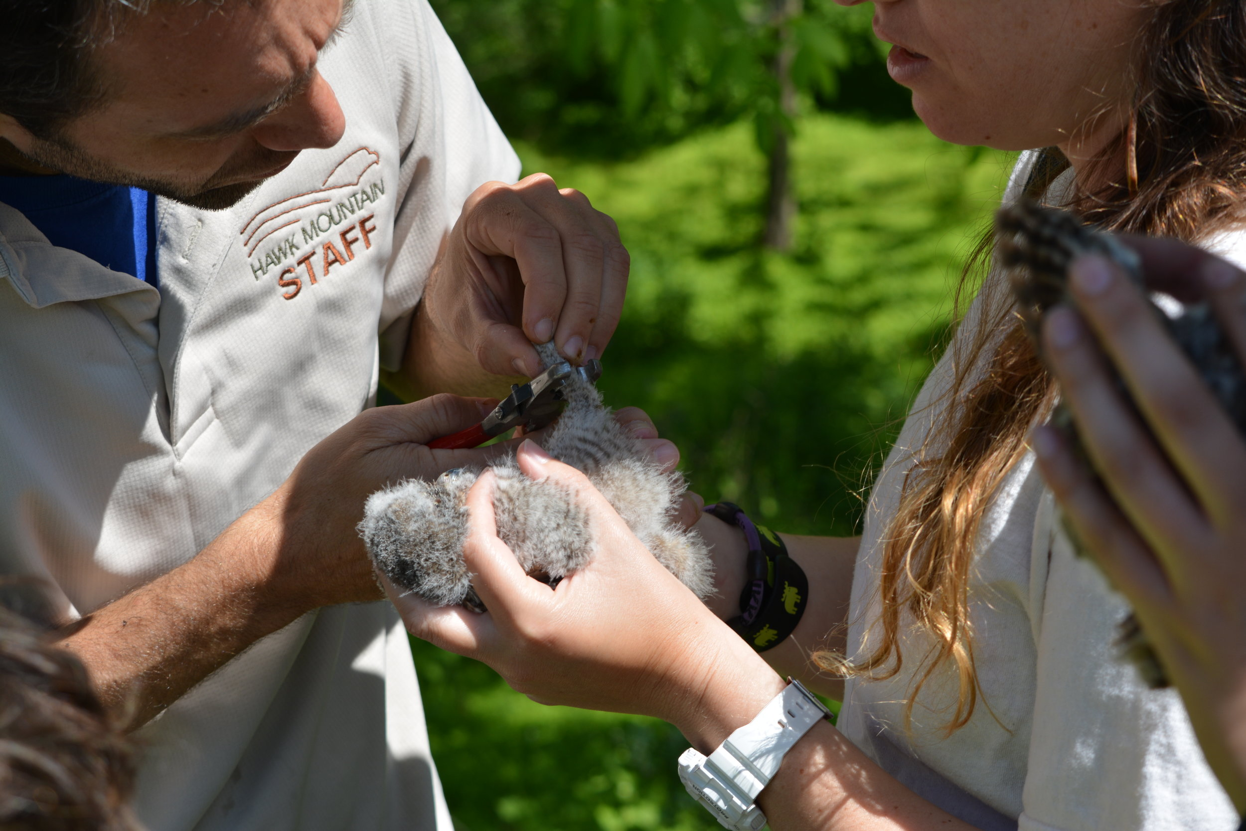 Young screech owl banding with Dr. JF Therrien
