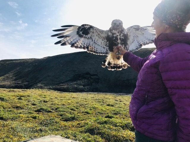 Rebecca with the newly tagged rough-legged hawk, just before release.