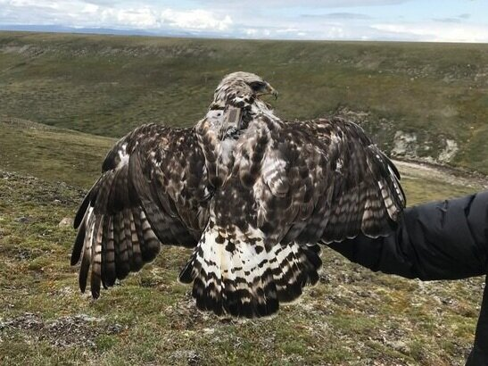Rough-legged hawk with a satellite telemetry tracking unit attached.