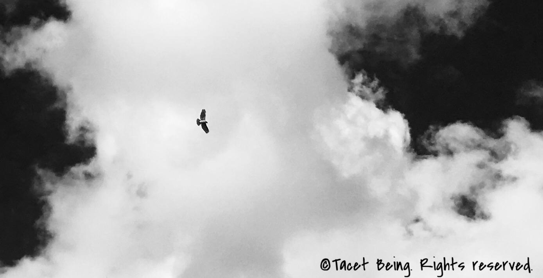 Hawk on  Buffalo Bayou  trails