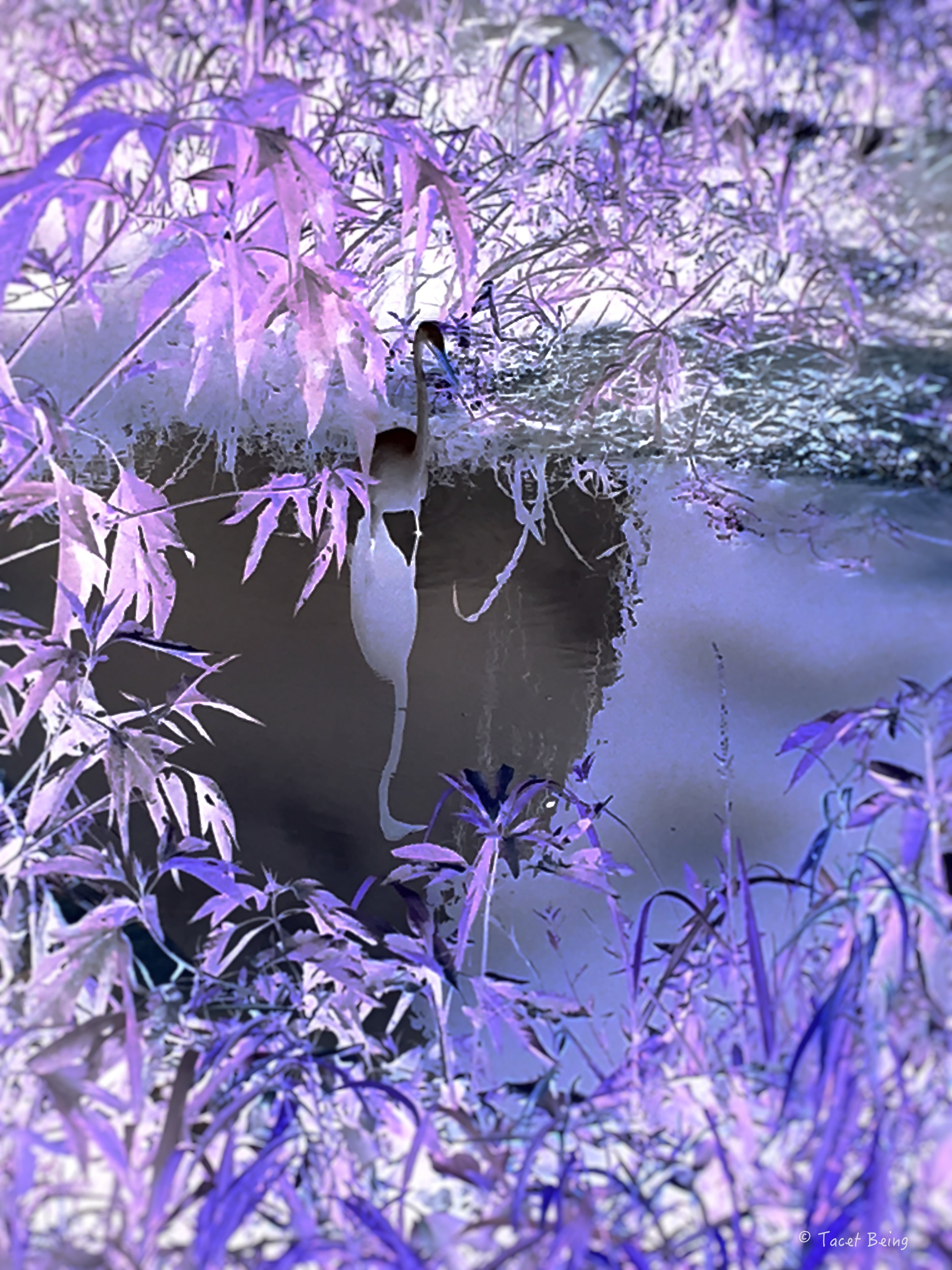 heron stands in water_tb.jpg