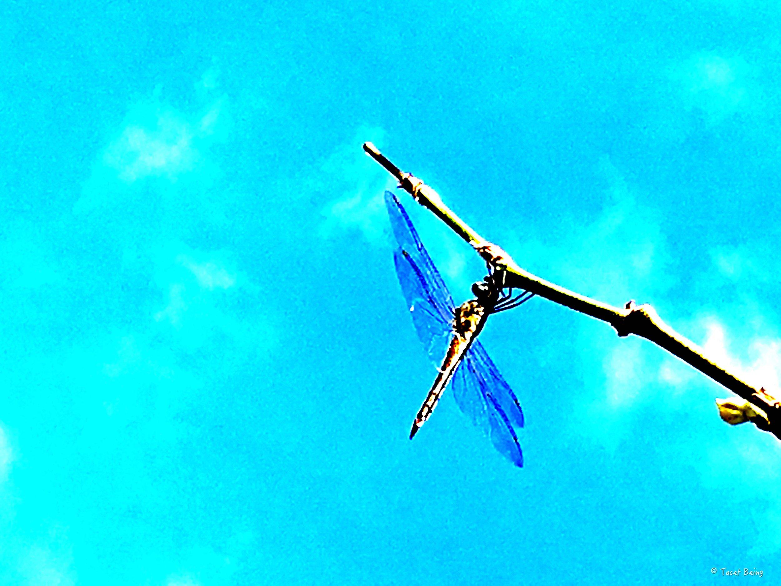 dragonfly on stick_tb.jpg