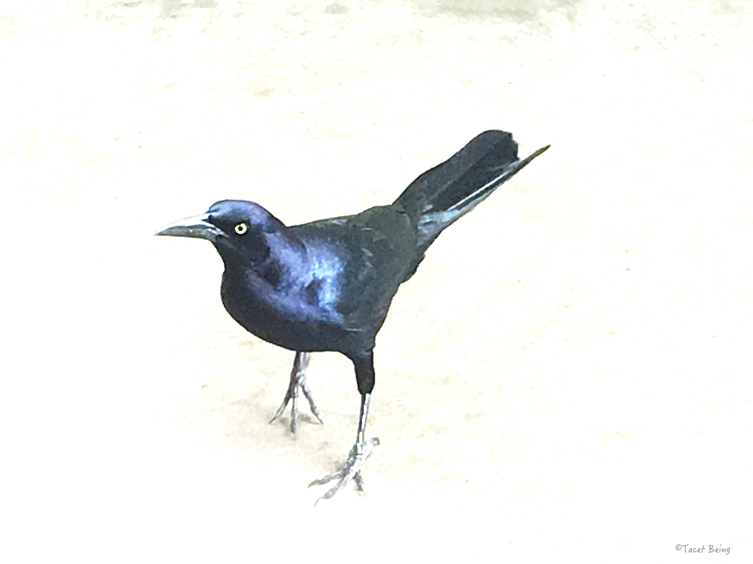 crow walking copy_tb.jpg