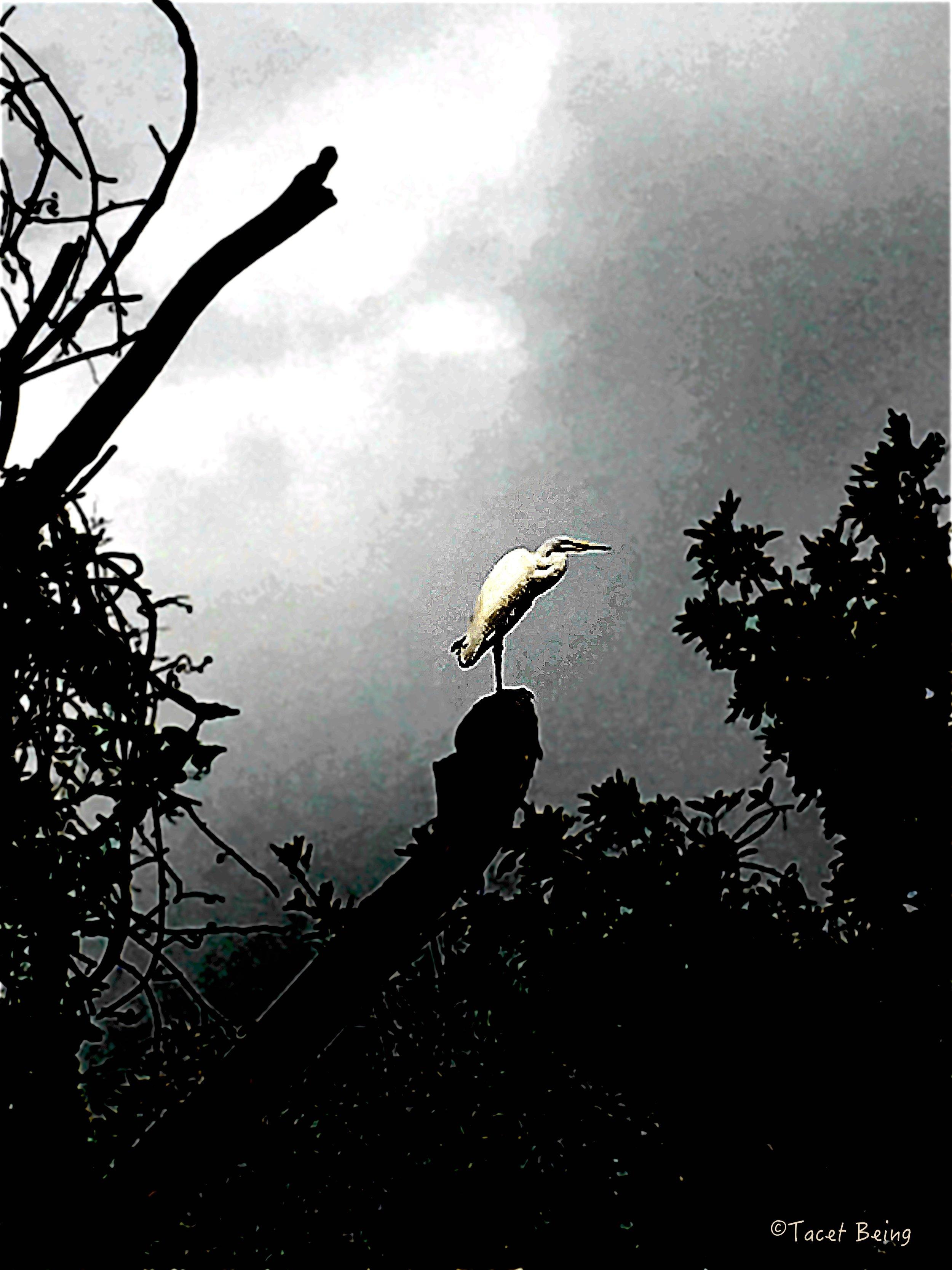 egret on tree top_tb.jpg