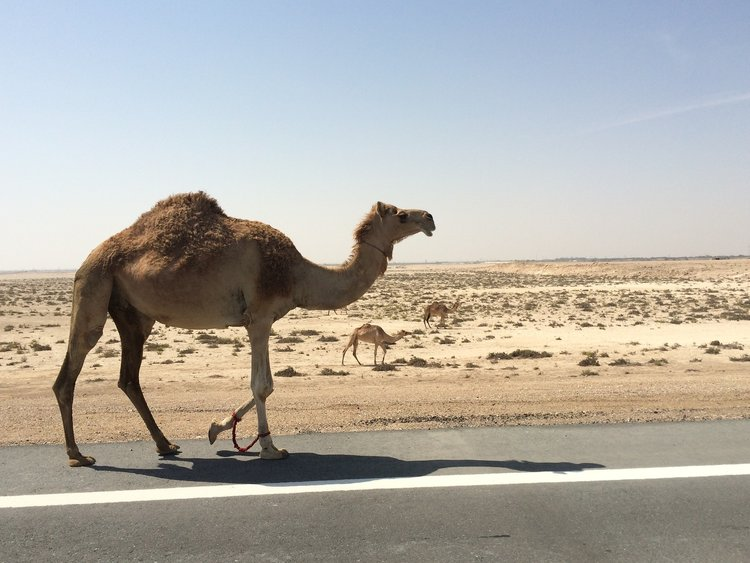 al-khudra-camels-dubai-2.jpg