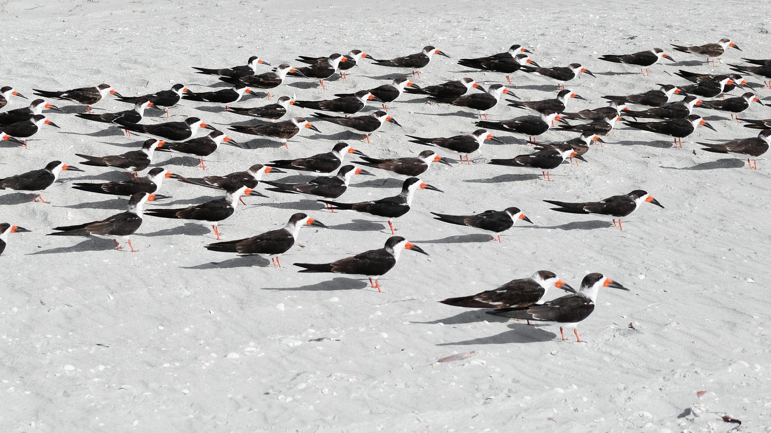 Sanibel Island birds