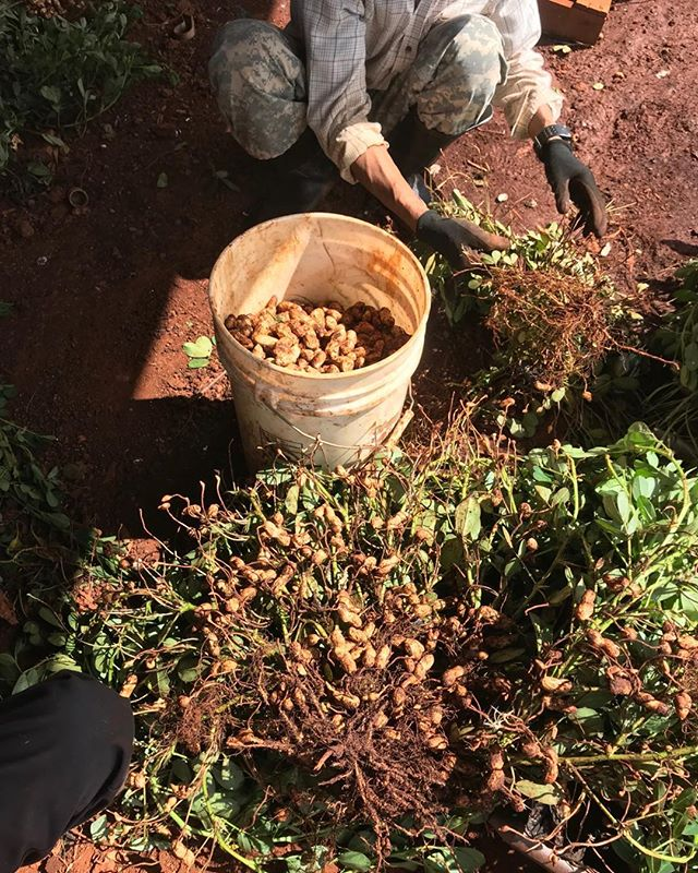 People who love fresh peanut please come now. We just harvested whole bushels of them this morning and will continue to harvest until run out.#aliiagfarm#peanut.