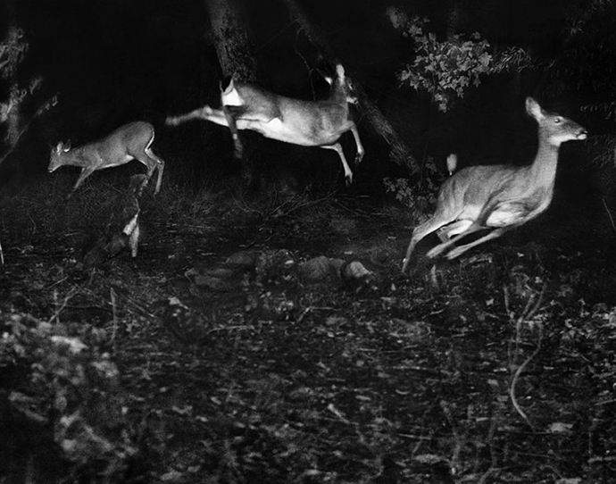 Meet Grandfather Flash   George Shiras' early wildlife photography. Photograph by George Shiras.