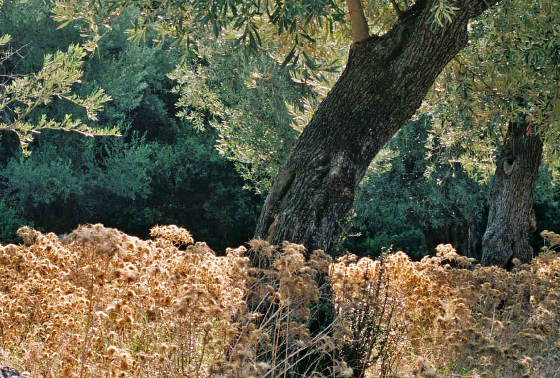Olive grove, 35mm, Skopelos, 2018