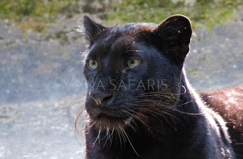 MEL Leopard FB.jpg