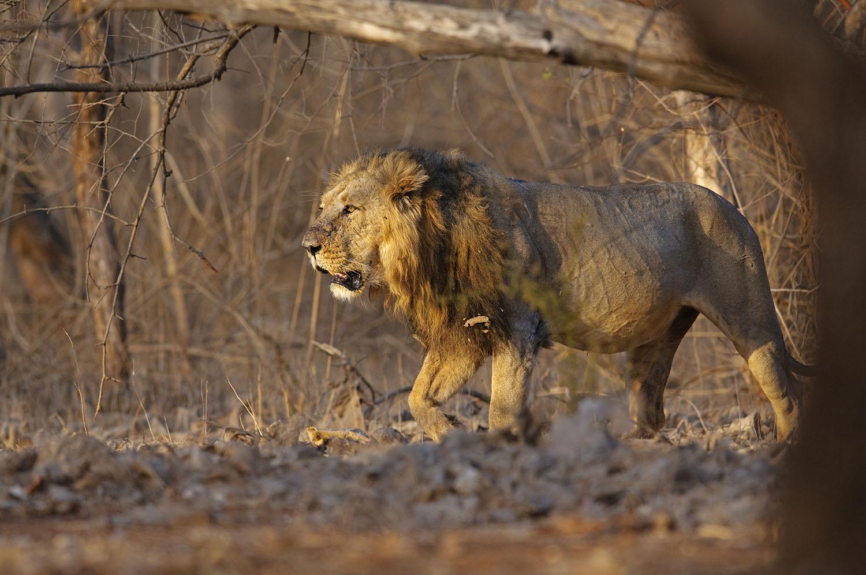 Wildlife Safaris Big cat safaris_2.jpg