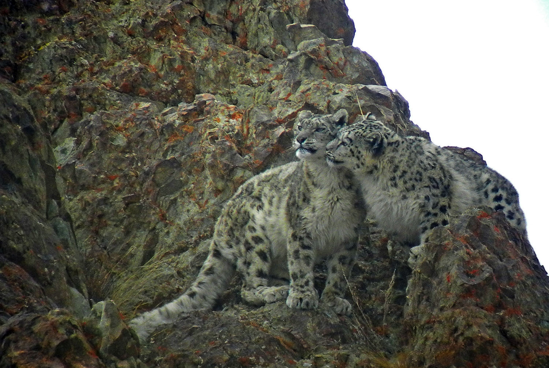 Wildlife Safaris Snow Leopard_1.jpg