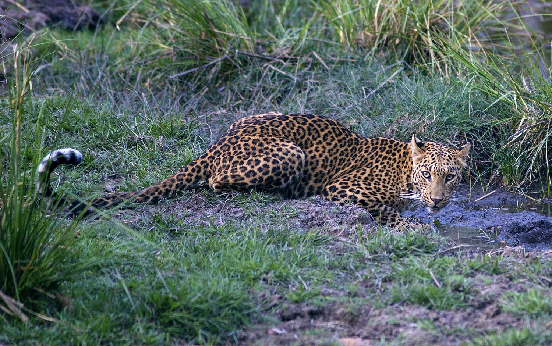 Wildlife safaris big cat safaris_3.jpg