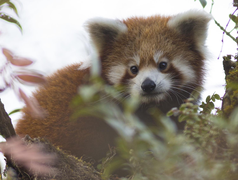 Wildlifesafaris_redpandasafaris_1.jpg