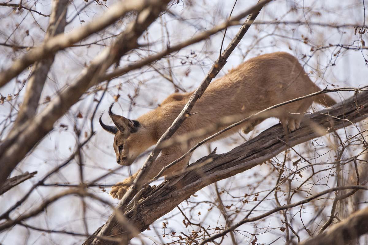 Wildlifesafaris_smallcats_4.jpg