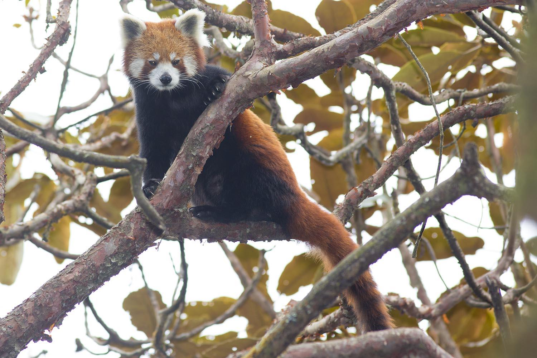 Wildlifesafaris_redpanda_1.jpg