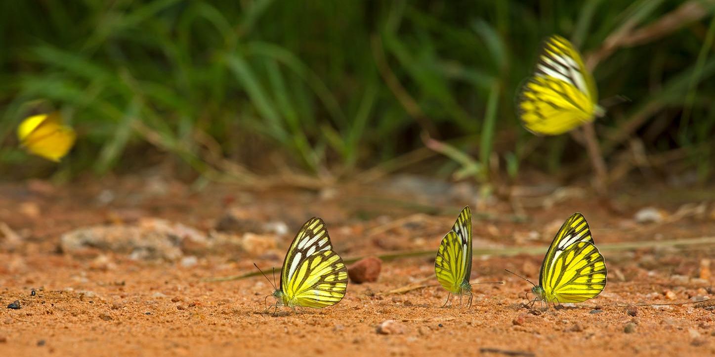 Butterfly_Vana_1.jpg