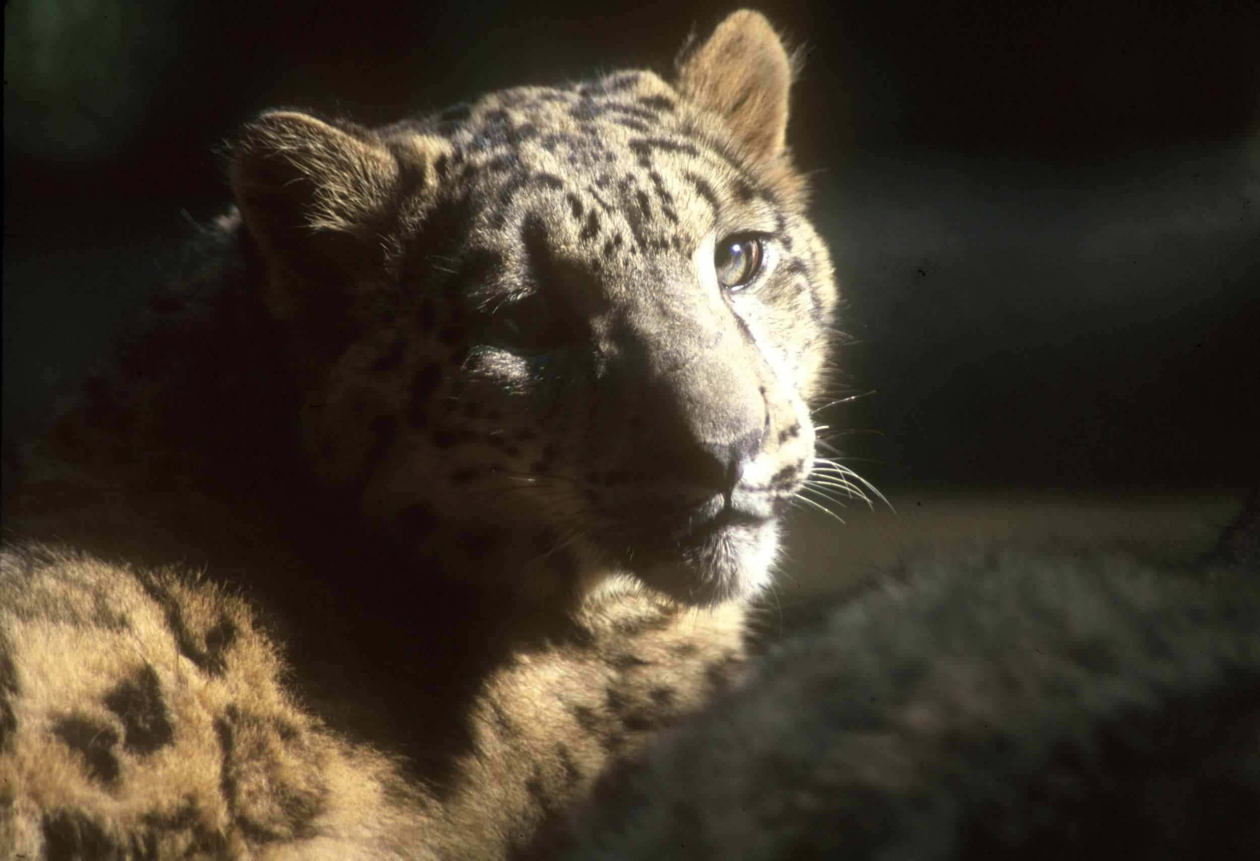 Snow Leopard CLOSE-UP.jpg