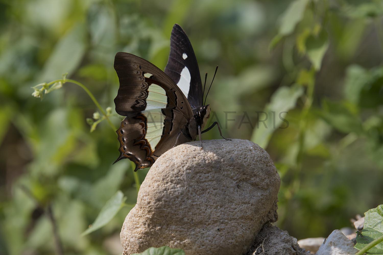 Wildlifesafaris_butterfly_211117_2_fb.jpg