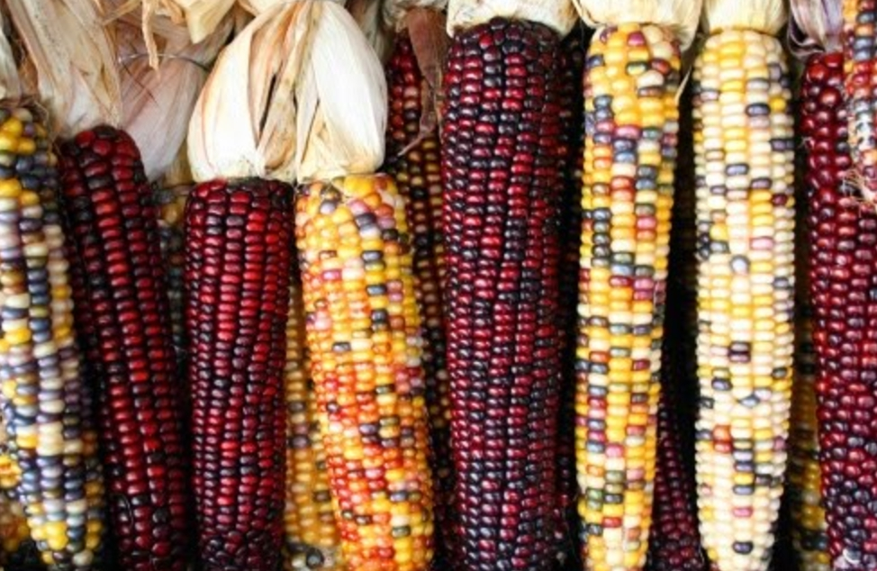 maiz criollo mexicano.jpg