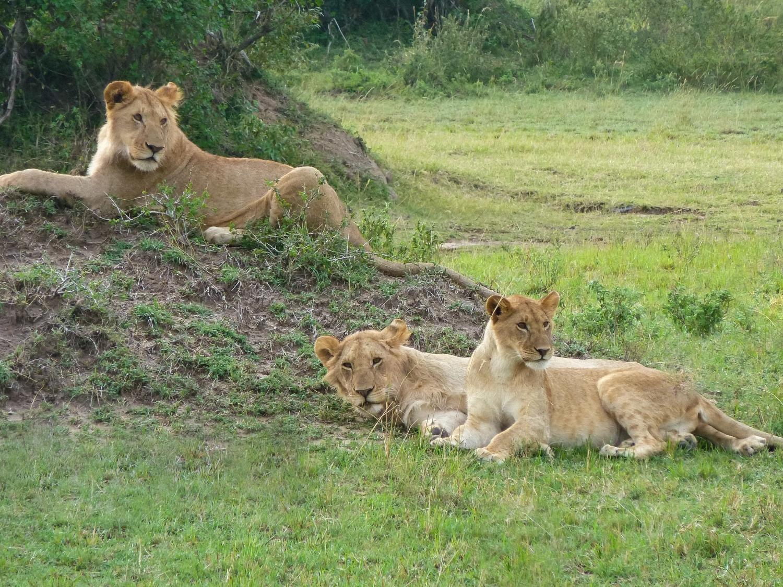 curio.trips.kenya.maasai.mara.lions.relaxing.landscape.jpg