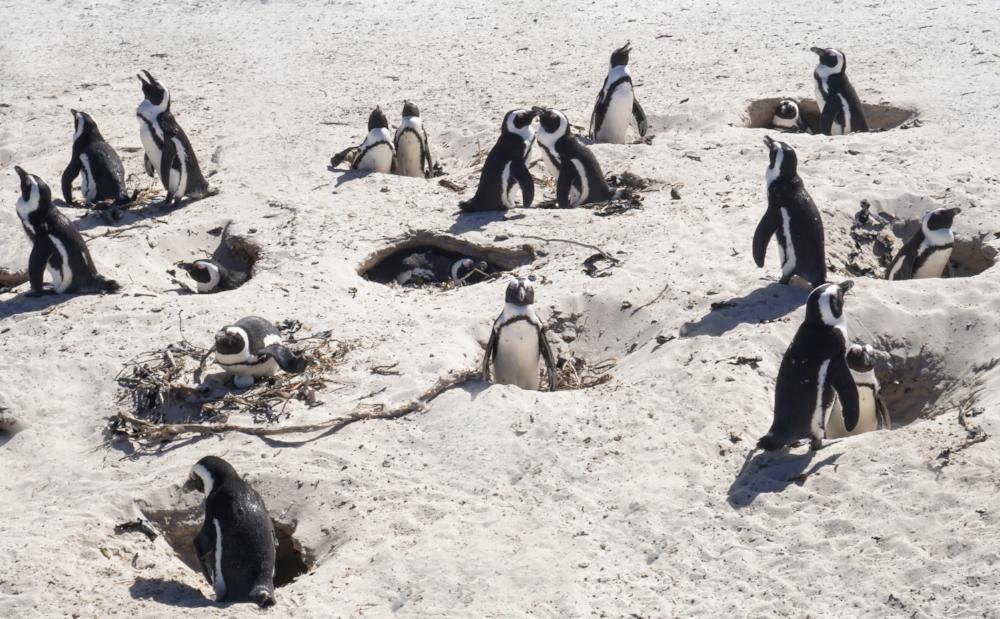 curio.trips.south.africa.boulders.beach.penguin.masses.jpg