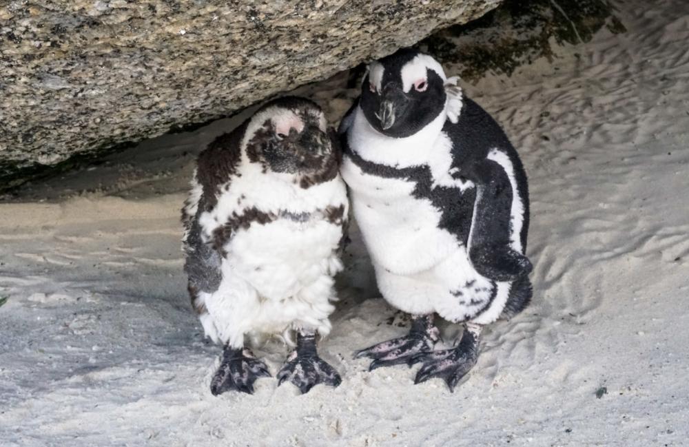 curio.trips.south.africa.boulders.beach.penguin.pair.jpg