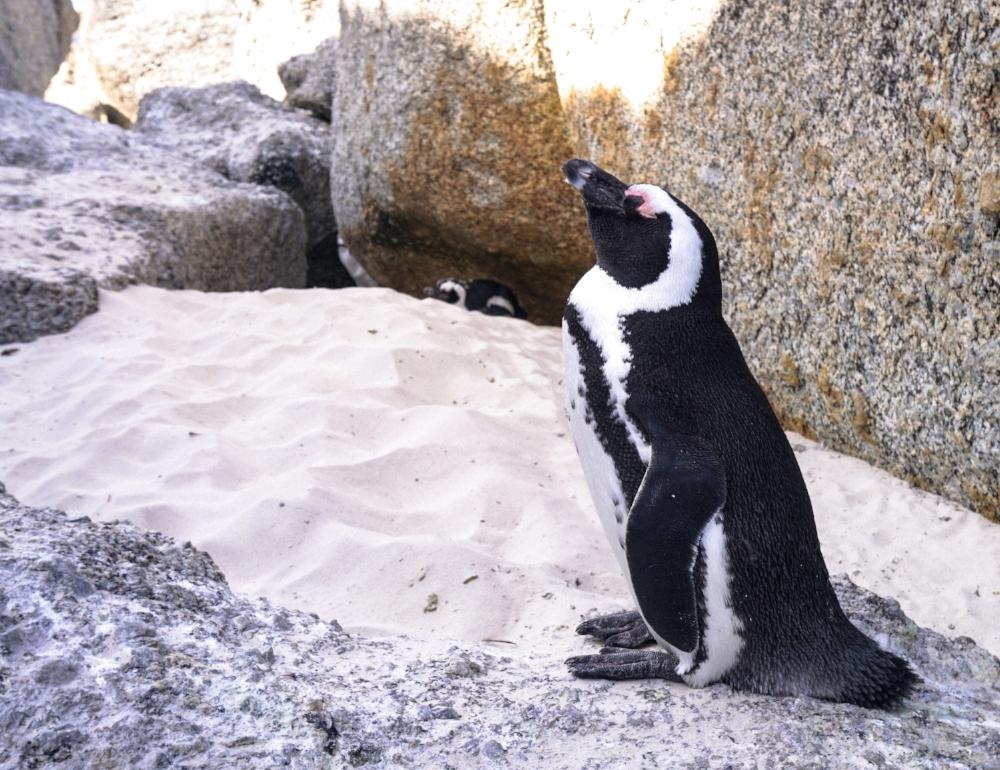 curio.trips.south.africa.boulders.beach.penguin.solo.jpg