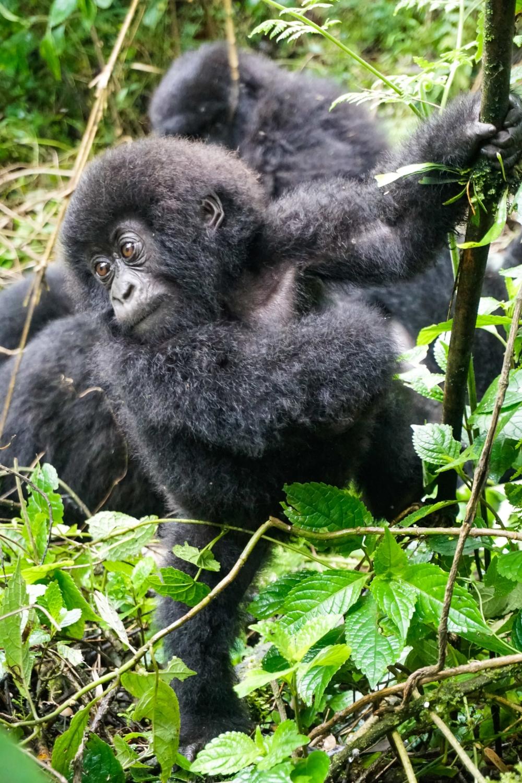curio.trips.rwanda.volcanoes.np.baby.gorilla.IG.story.jpg