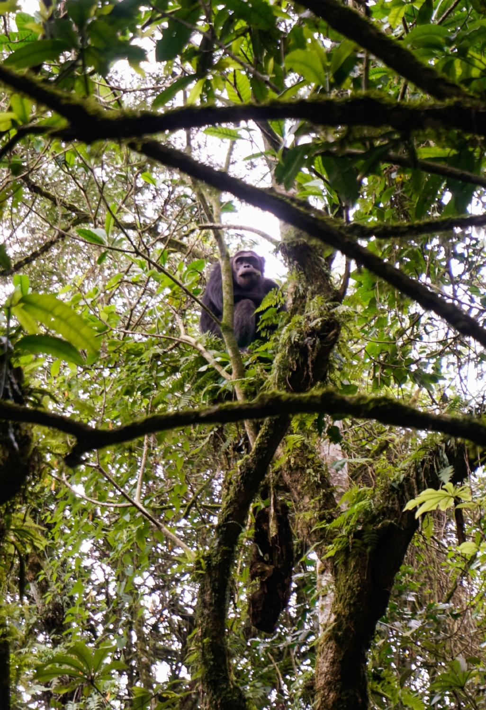 curio.trips.rwanda.nyungwe.np.chimpanzee.tree.jpg